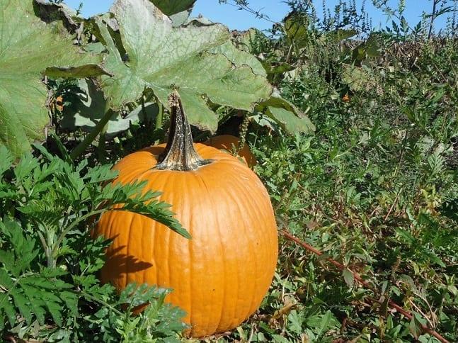 Grow pumpkin