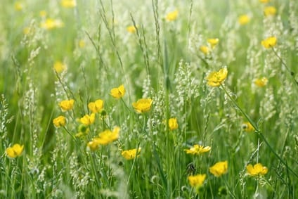 Meadow flowers in grass - buttercup (springtime)